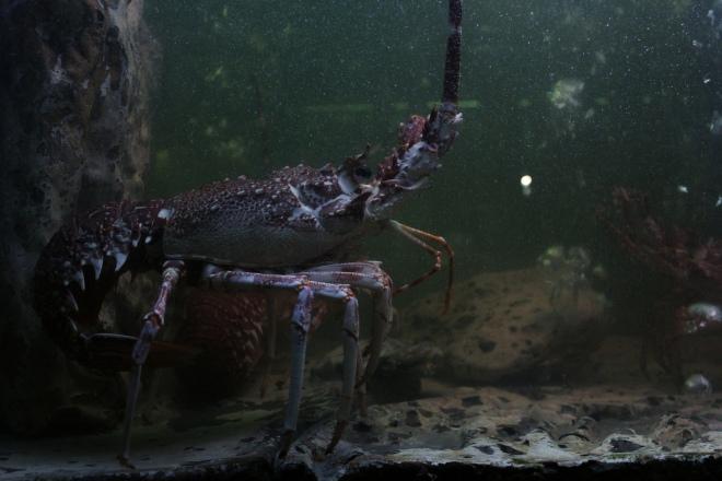 A lagosta órfã chora a perda da progenitora